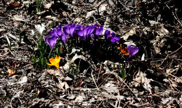 Day 90: Crocuses on Easter Sunday