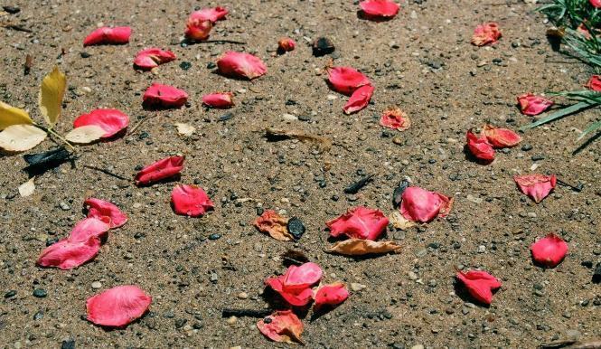 Day 193: Rose petals